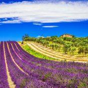 lavande in Provence, France